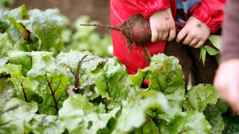 kid holding beets in a field of greens