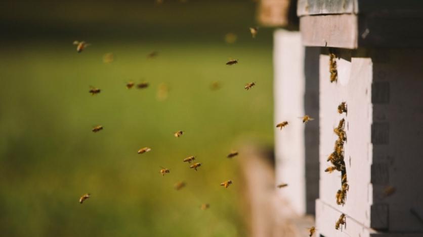 Honey Bees at the hive