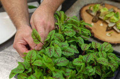 Red veined sorrel on a chefs table