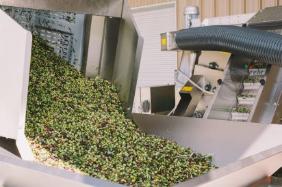 olives in sorting machine