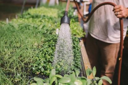 Ryan Lee watering seedlings.