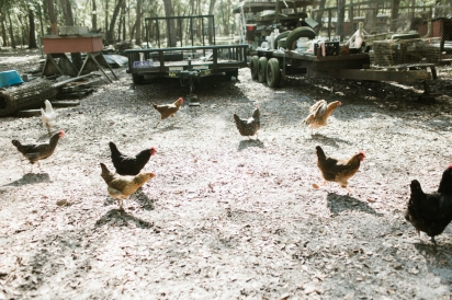 chickens at goat farm