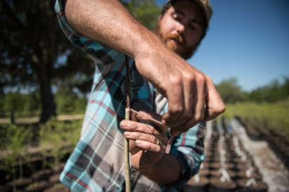 Scott Meyer of Congaree and Penn Farm grafts mayhaw scions in Northeast Florida