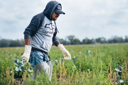 Farmworker in Hastings picking broccoli.