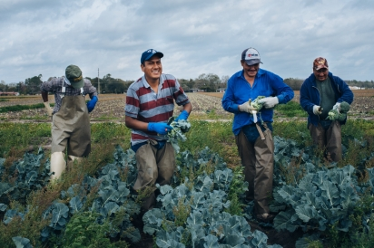 Farmworkers in the field harvesting broccoli.