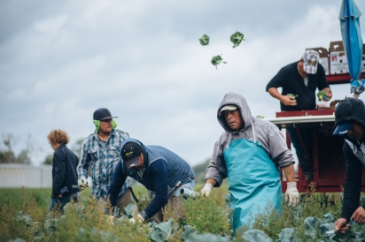 farmworkers picking broccoli