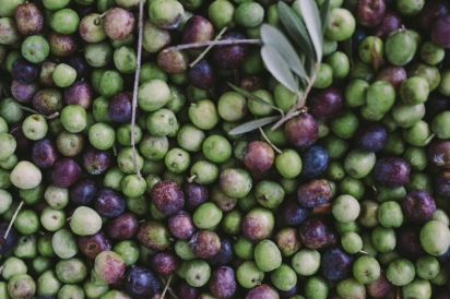 fresh picked olives