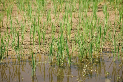 Rice field at Congaree and Penn Farm and Mills