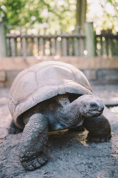 Goober, a 450-pound Aldabra tortoise