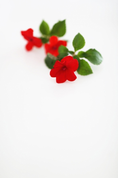 Edible Impatiens Flowers