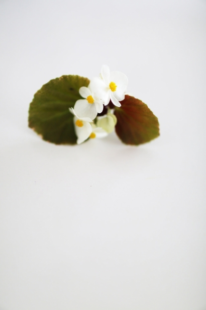Edible Wax Begonia Flowers