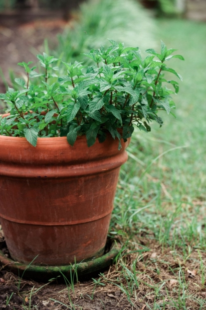 Herb growing in a terracotta pot at the Clara White Mission in Jacksonville Florida