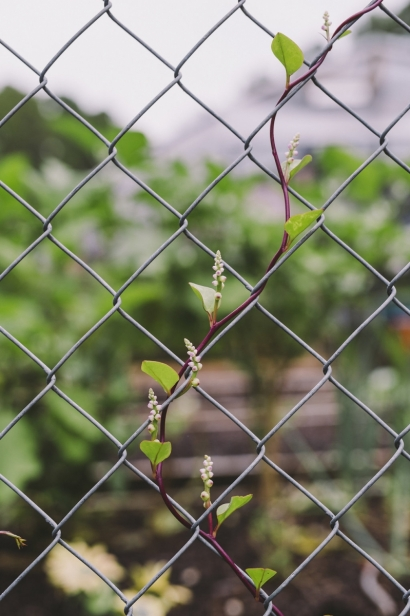 vine on a chainlink fence