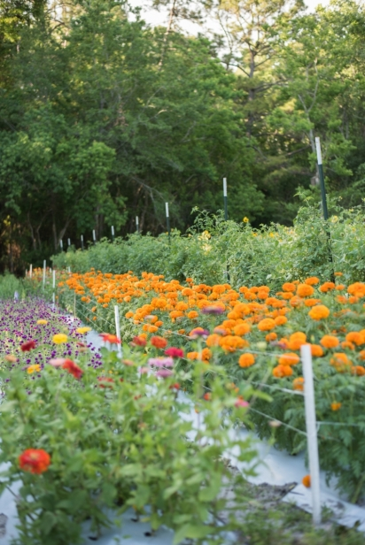 Rows of zinnias at down to earth farm
