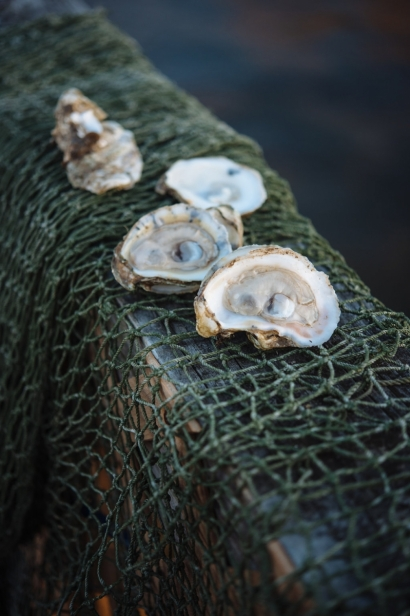 Oysters on net