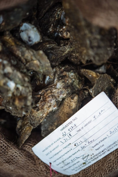 Oysters being harvested