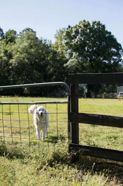 Sheep dog at watch at juicy roots farm in Jacksonville, Florida