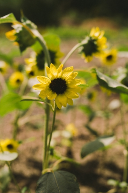 Sunflowers at Lees Edible Acres.