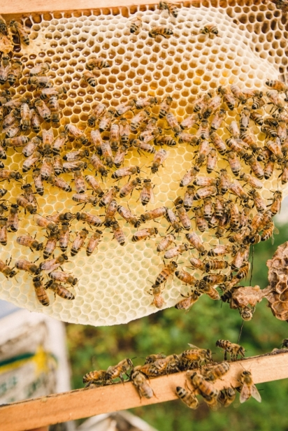 Honey bees on their comb in northeast florida