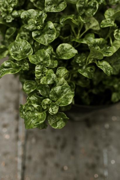 malabar spinach at eat your yard jax