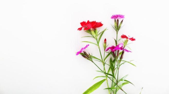 Edible dianthus flowers