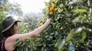Becky Cardenas picking persimmons for her holiday table decor