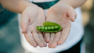 Little hands holding a pea pod in jacksonville beach florida